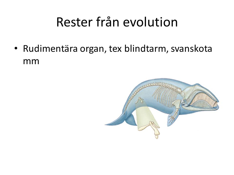 Rester från evolution Rudimentära organ, tex blindtarm, svanskota mm