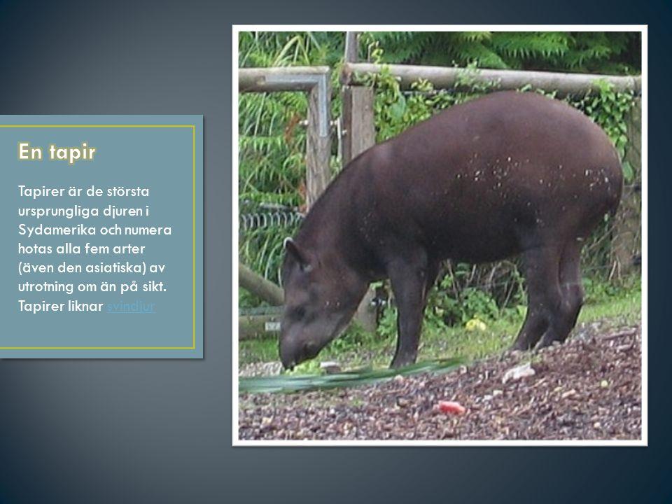 En tapir