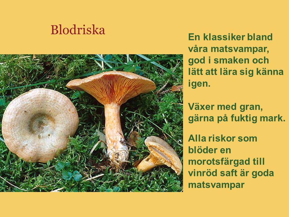 Blodriska En klassiker bland våra matsvampar, god i smaken och lätt att lära sig känna igen. Växer med gran, gärna på fuktig mark.