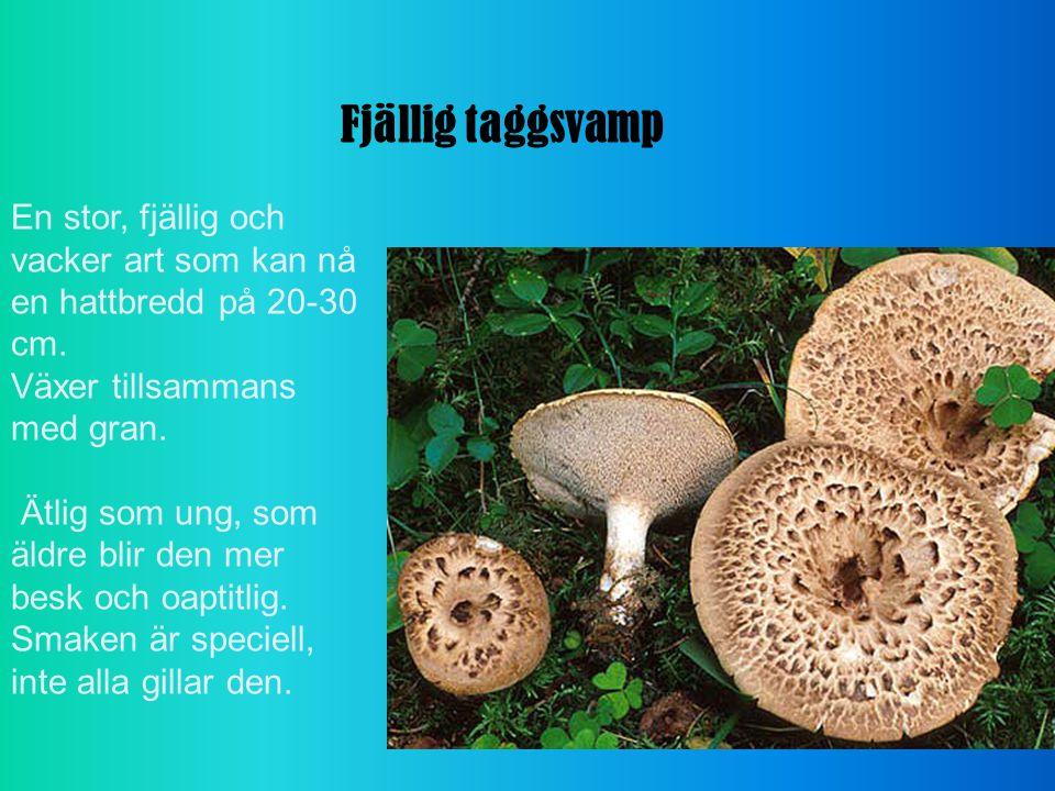 Fjällig taggsvamp En stor, fjällig och vacker art som kan nå en hattbredd på 20-30 cm. Växer tillsammans med gran.