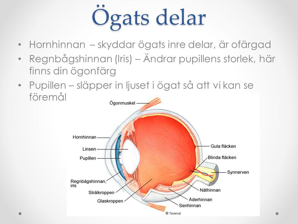 Ögats delar Hornhinnan – skyddar ögats inre delar, är ofärgad