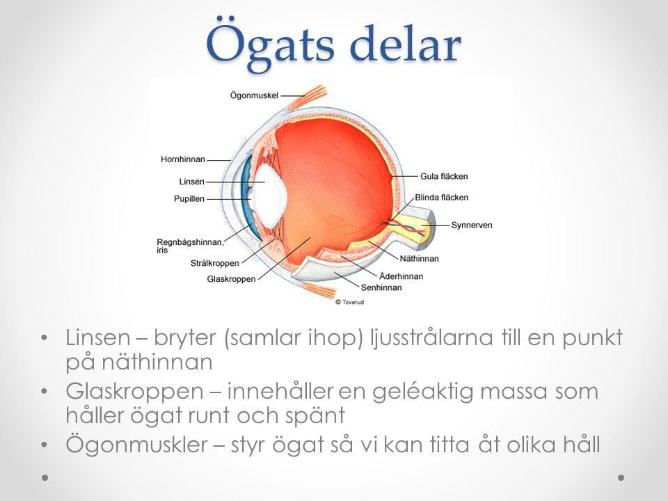 Ögats delar Linsen – bryter (samlar ihop) ljusstrålarna till en punkt på näthinnan.