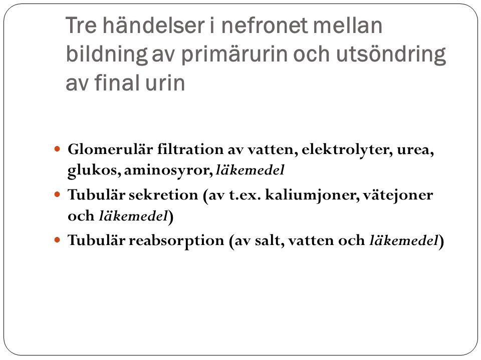 Tre händelser i nefronet mellan bildning av primärurin och utsöndring av final urin