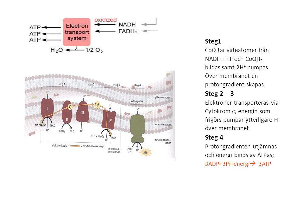 Steg1 Steg 2 – 3 Steg 4 CoQ tar väteatomer från NADH + H+ och CoQH2