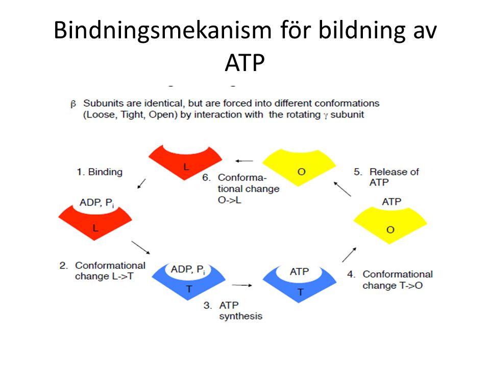 Bindningsmekanism för bildning av ATP