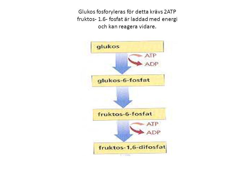 Glukos fosforyleras för detta krävs 2ATP fruktos- 1