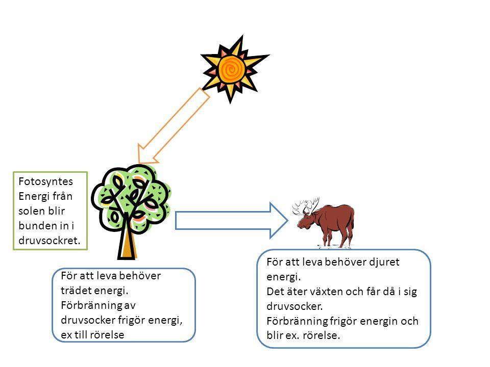 Fotosyntes Energi från solen blir bunden in i druvsockret. För att leva behöver djuret energi. Det äter växten och får då i sig druvsocker.