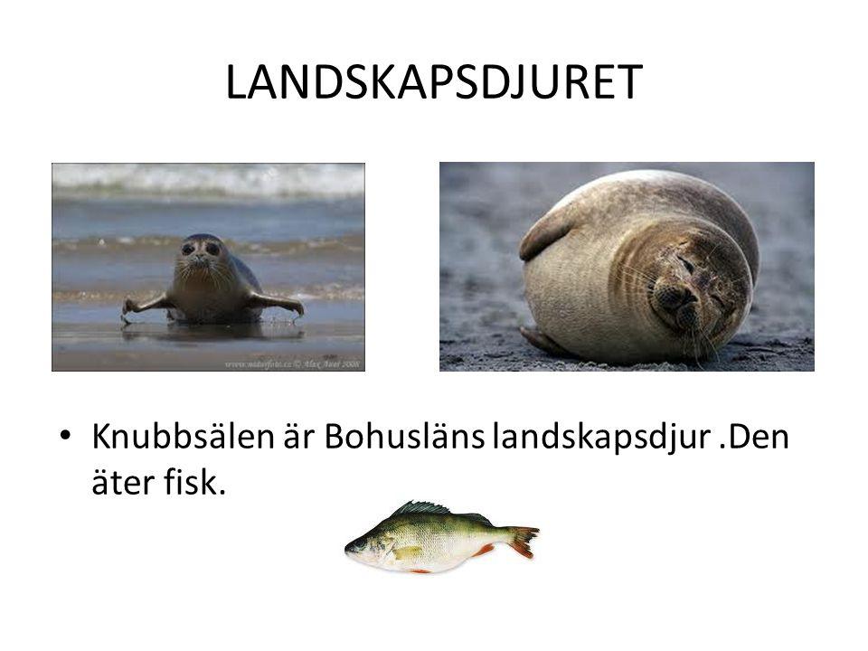LANDSKAPSDJURET Knubbsälen är Bohusläns landskapsdjur .Den äter fisk.