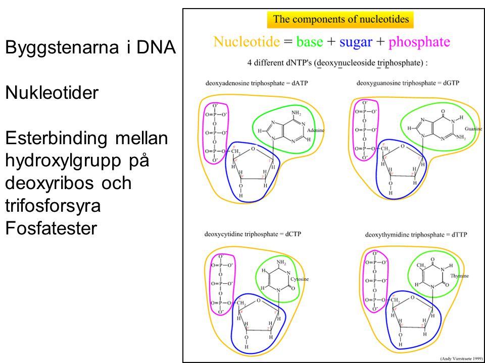 Byggstenarna i DNA Nukleotider. Esterbinding mellan. hydroxylgrupp på. deoxyribos och. trifosforsyra.