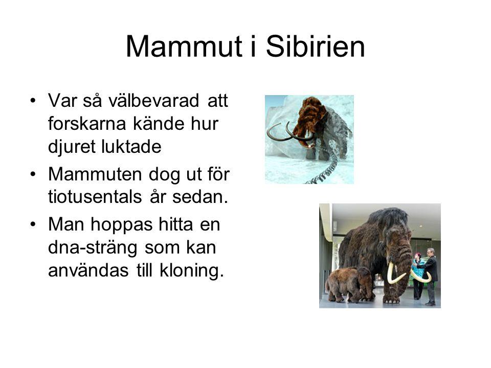 Mammut i Sibirien Var så välbevarad att forskarna kände hur djuret luktade. Mammuten dog ut för tiotusentals år sedan.