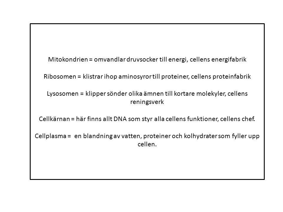 Mitokondrien = omvandlar druvsocker till energi, cellens energifabrik