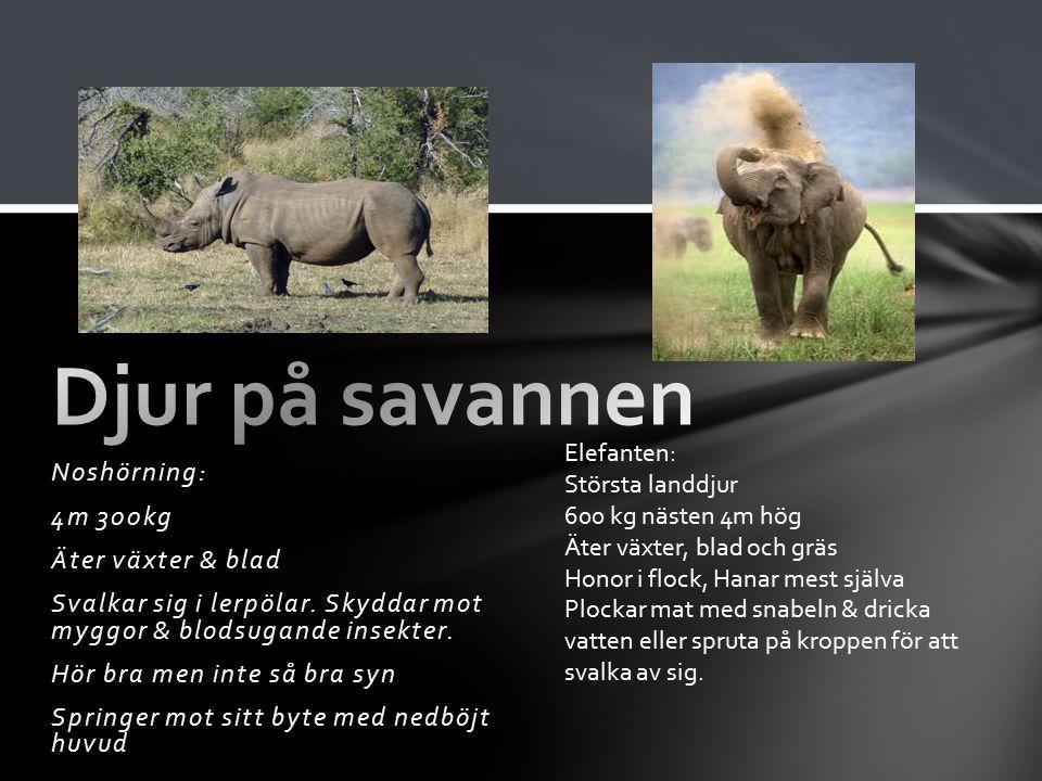 Djur på savannen Noshörning: 4m 300kg Äter växter & blad