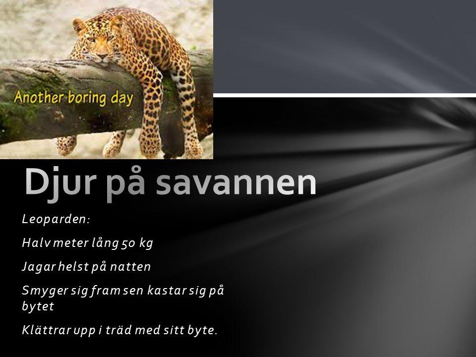 Djur på savannen Leoparden: Halv meter lång 50 kg