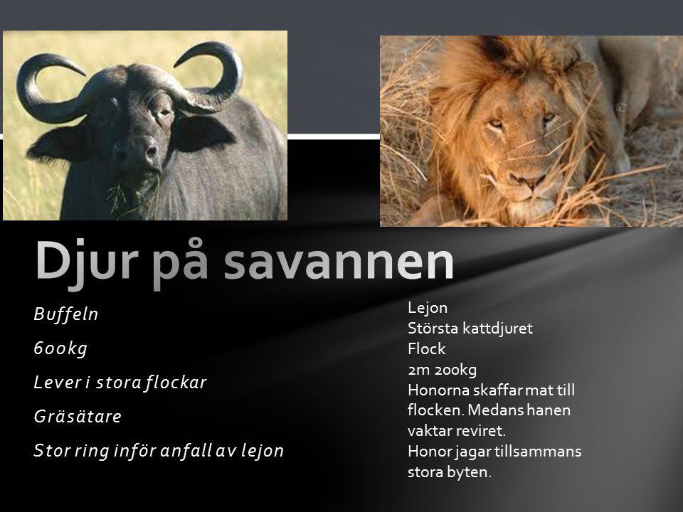 Djur på savannen Buffeln 600kg Lever i stora flockar Gräsätare