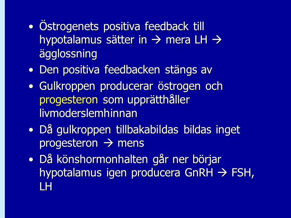Östrogenets positiva feedback till hypotalamus sätter in  mera LH  ägglossning
