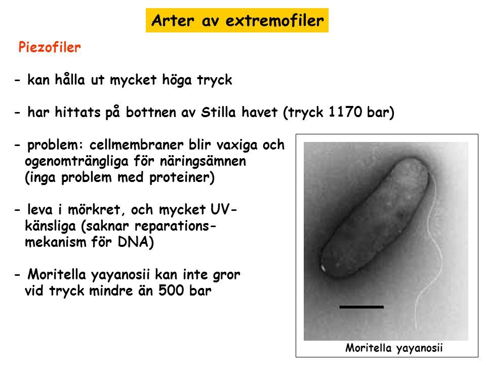 Arter av extremofiler Piezofiler - kan hålla ut mycket höga tryck