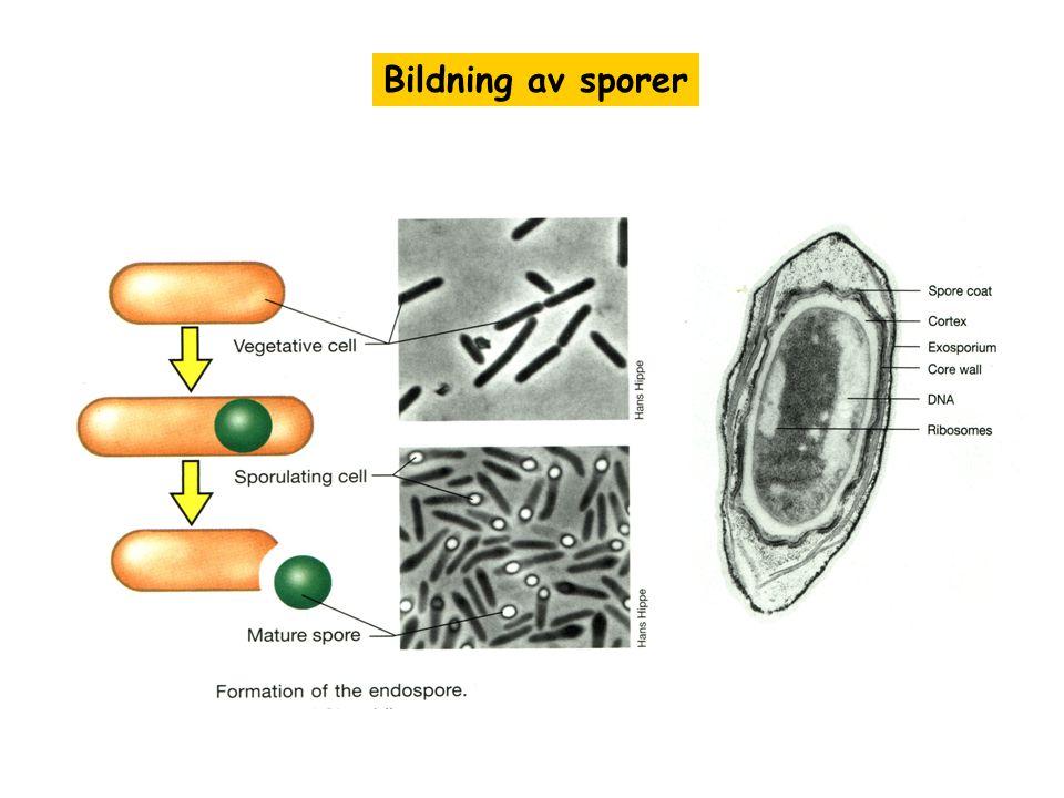 Bildning av sporer