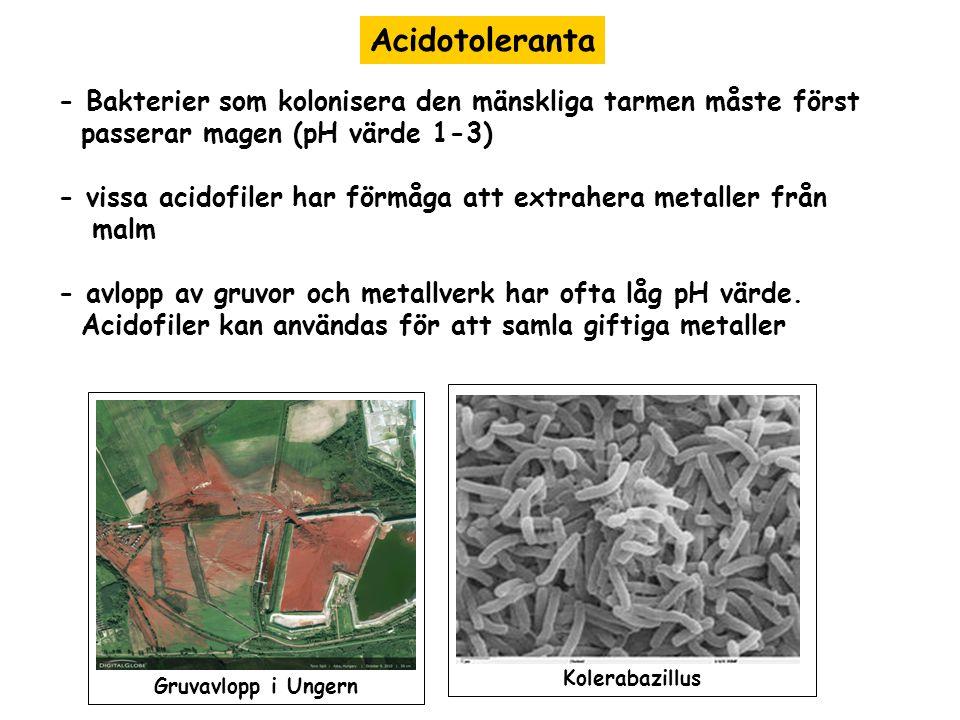 Acidotoleranta - Bakterier som kolonisera den mänskliga tarmen måste först. passerar magen (pH värde 1-3)