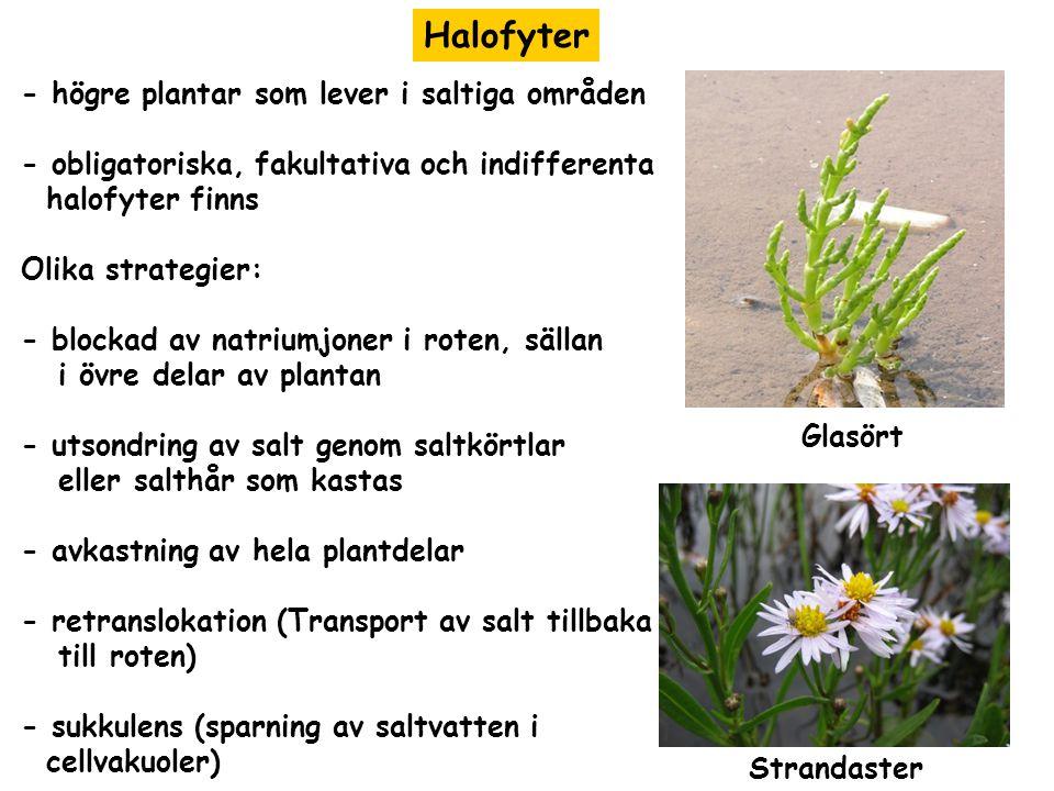 Halofyter - högre plantar som lever i saltiga områden