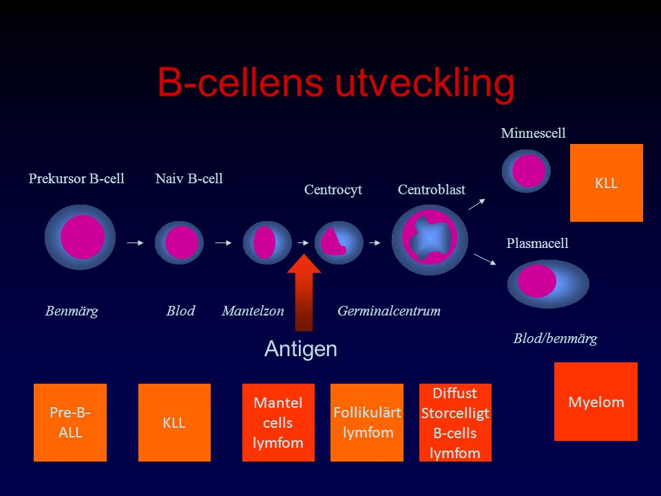 B-cellens utveckling Antigen KLL Myelom Pre-B- ALL KLL Mantel cells