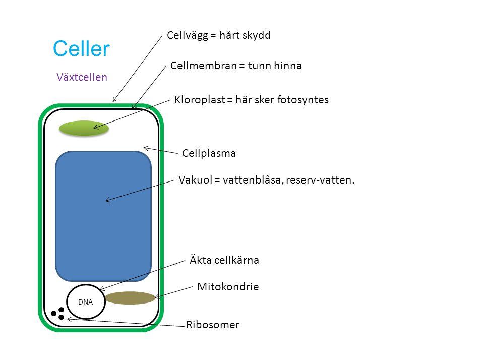 Celler Cellvägg = hårt skydd Cellmembran = tunn hinna Växtcellen