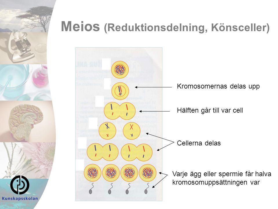 Meios (Reduktionsdelning, Könsceller)