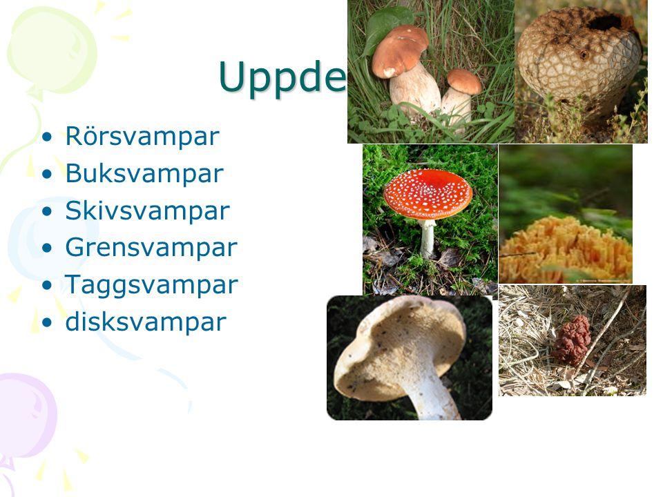 Uppdelning Rörsvampar Buksvampar Skivsvampar Grensvampar Taggsvampar