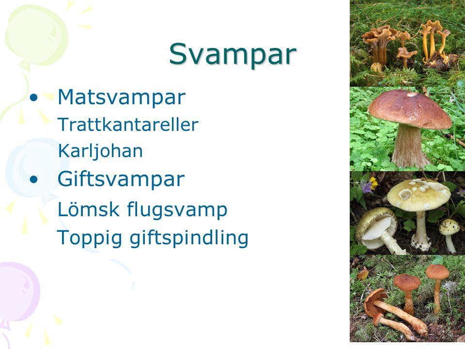 Svampar Matsvampar Giftsvampar Lömsk flugsvamp Toppig giftspindling