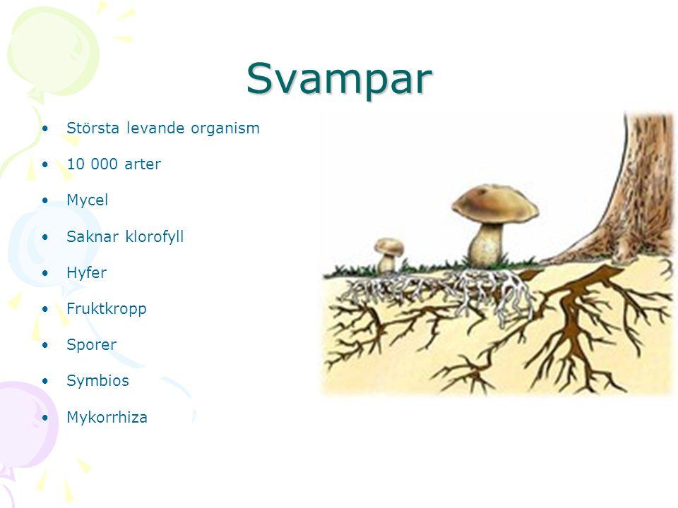 Svampar Största levande organism 10 000 arter Mycel Saknar klorofyll