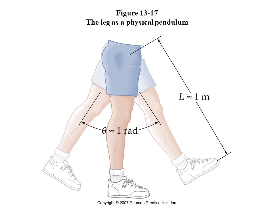 Figure 13-17 The leg as a physical pendulum