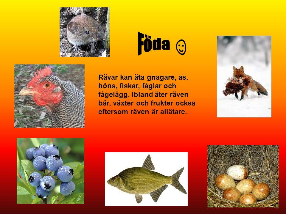 Föda ☺ Rävar kan äta gnagare, as, höns, fiskar, fåglar och fågelägg.