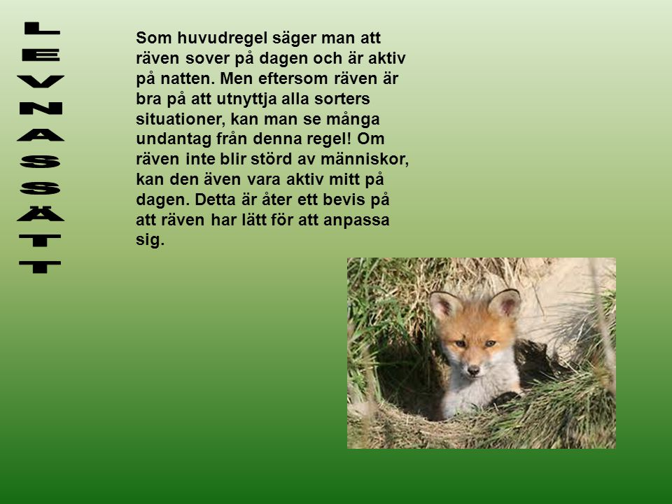 Som huvudregel säger man att räven sover på dagen och är aktiv på natten. Men eftersom räven är bra på att utnyttja alla sorters situationer, kan man se många undantag från denna regel! Om räven inte blir störd av människor, kan den även vara aktiv mitt på dagen. Detta är åter ett bevis på att räven har lätt för att anpassa sig.