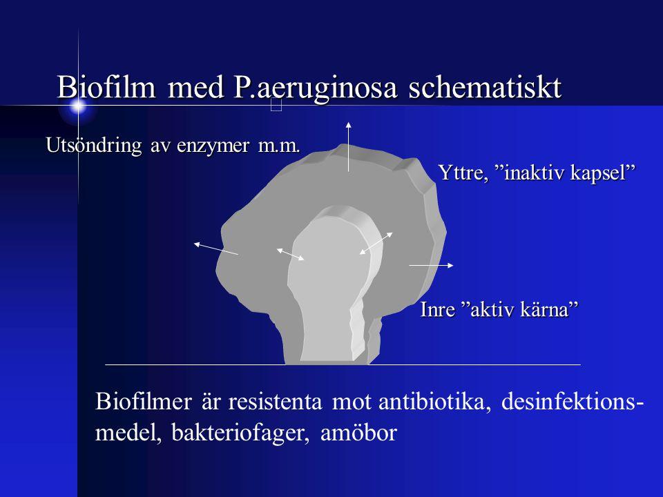 Biofilm med P.aeruginosa schematiskt