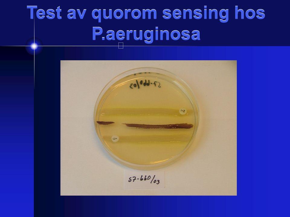 Test av quorom sensing hos P.aeruginosa