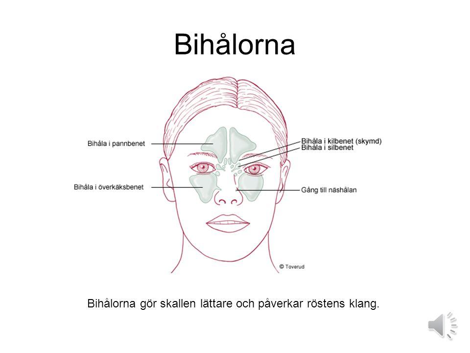 Bihålorna Bihålorna gör skallen lättare och påverkar röstens klang.
