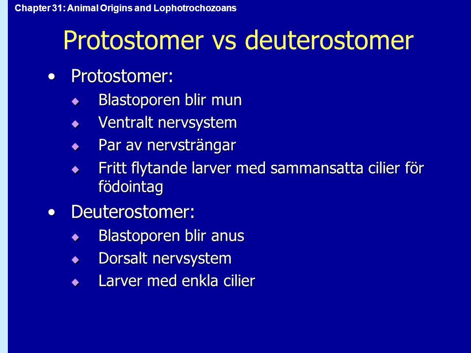 Protostomer vs deuterostomer