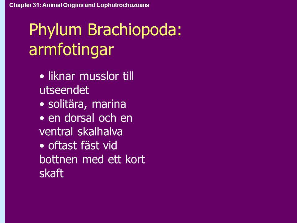 Phylum Brachiopoda: armfotingar