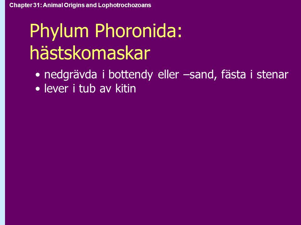 Phylum Phoronida: hästskomaskar