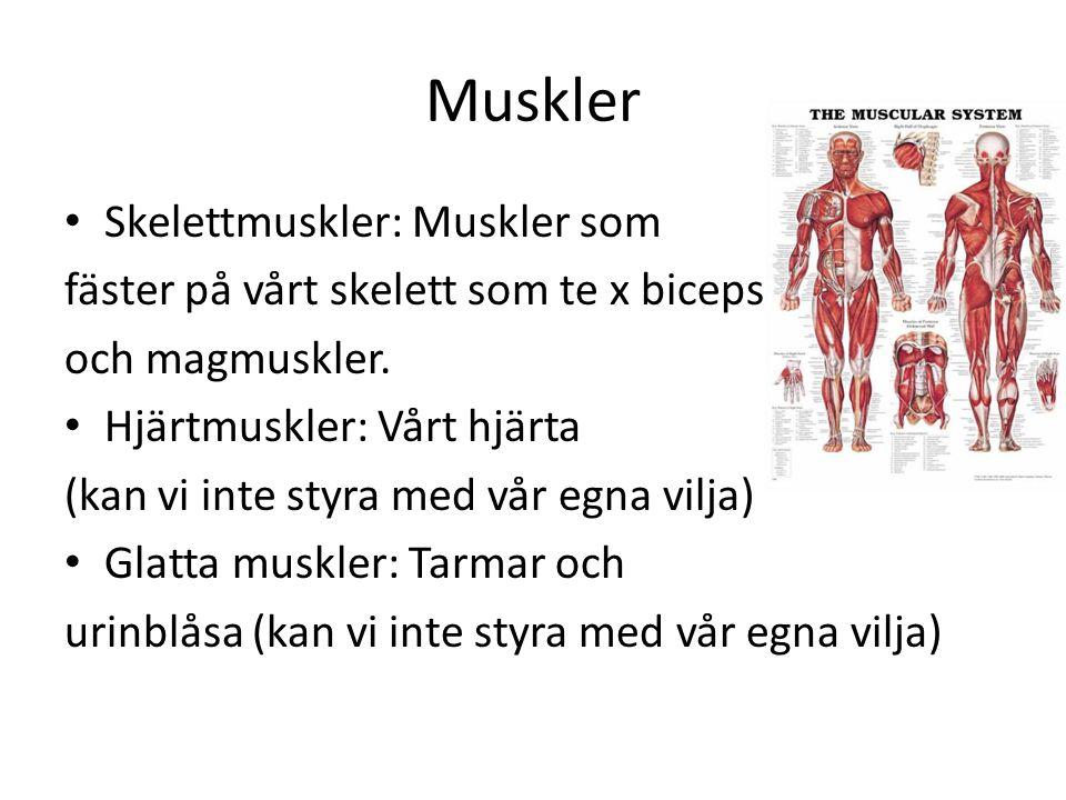 Muskler Skelettmuskler: Muskler som
