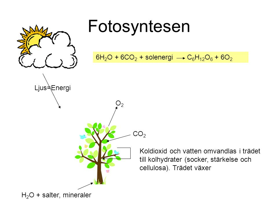 Fotosyntesen 6H2O + 6CO2 + solenergi C6H12O6 + 6O2 Ljus=Energi O2 CO2