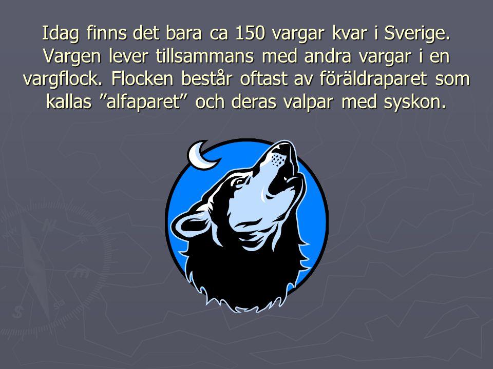 Idag finns det bara ca 150 vargar kvar i Sverige