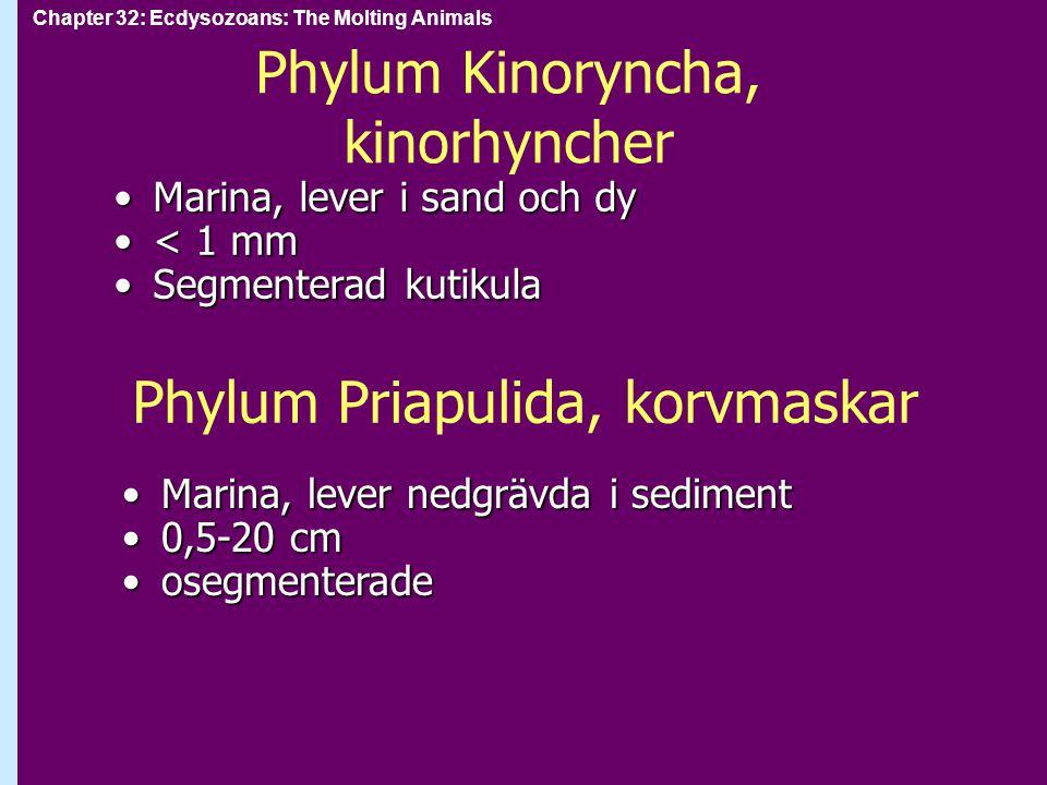 Phylum Kinoryncha, kinorhyncher