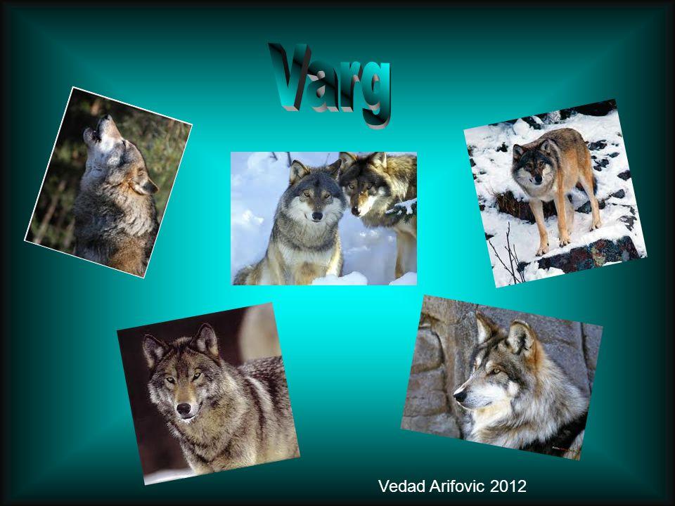Varg Vedad Arifovic 2012