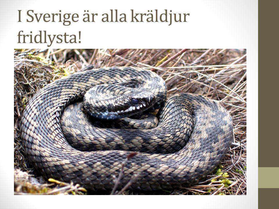 I Sverige är alla kräldjur fridlysta!