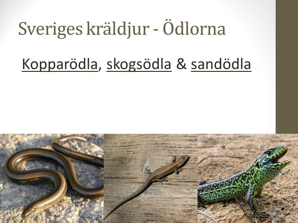 Sveriges kräldjur - Ödlorna