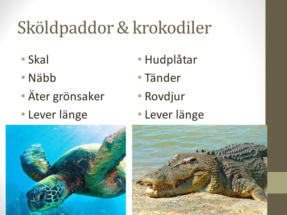 Sköldpaddor & krokodiler