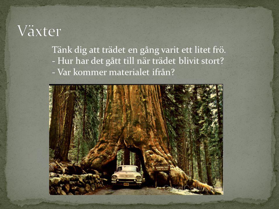 Växter Tänk dig att trädet en gång varit ett litet frö.