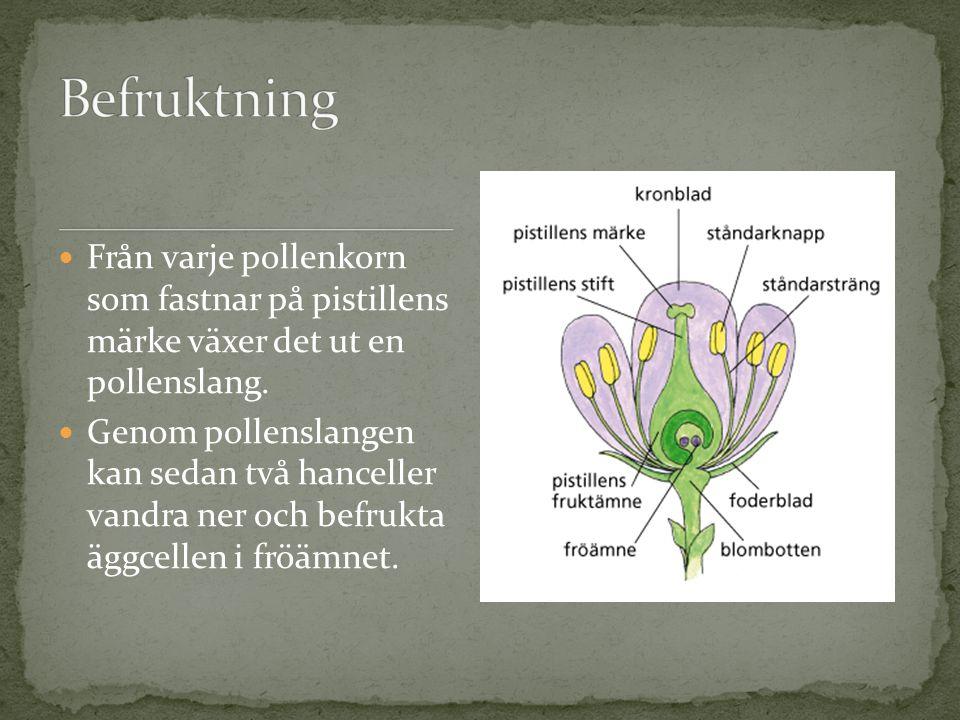 Befruktning Från varje pollenkorn som fastnar på pistillens märke växer det ut en pollenslang.