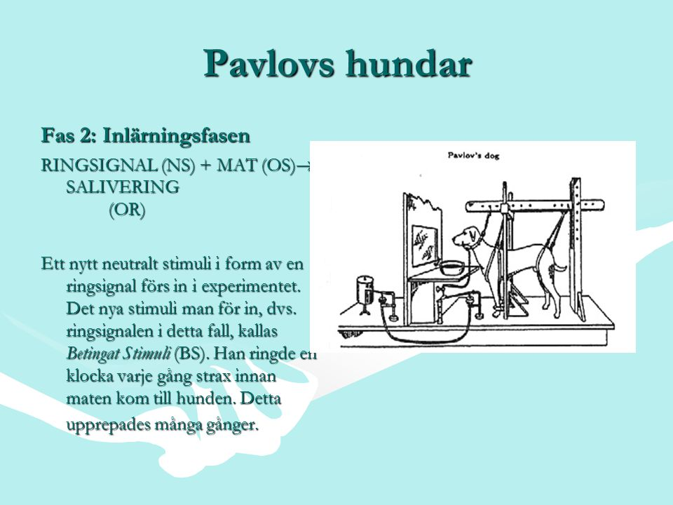 Pavlovs hundar Fas 2: Inlärningsfasen