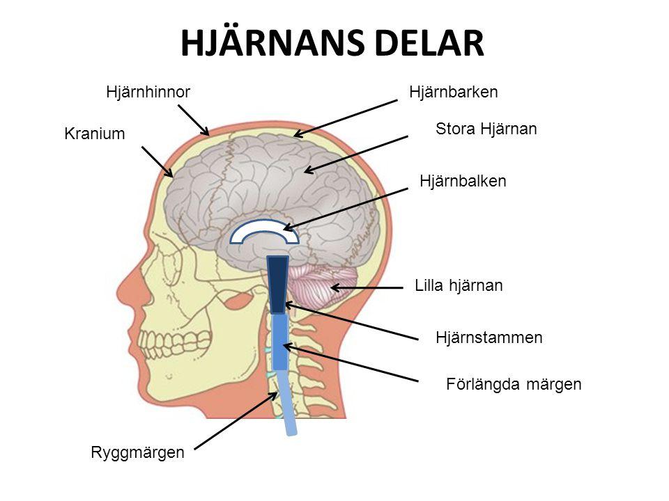 HJÄRNANS DELAR Hjärnhinnor Hjärnbarken Stora Hjärnan Kranium
